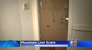 a creature that bwood homeowner william nichols said was a mountain lion broke through a plate glass window late tuesday sept