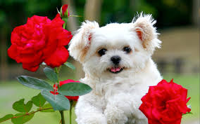 cute white puppies wallpaper. Modren White Cute White Puppy With Red Rose Flowers  HD Wallpapers Rocks And White Puppies Wallpaper Pinterest