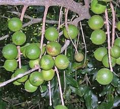Tropical Fruit Plants  Tropical Fruit Trees  Fast Growing TreesFruit Trees That Grow In Nc