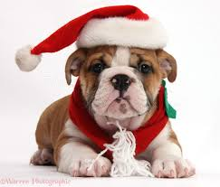 Bulldog puppy wearing Santa hat and scarf photo - WP39221