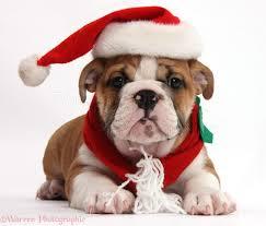Bulldog puppy wearing Santa hat and scarf photo - WP39221