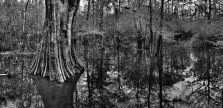Image result for giant cypress tree