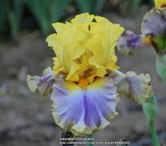Tall Bearded Iris (Iris 'Barbara Rider') in the Irises Database ...