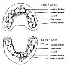 Which Baby Teeth Fall Out Chart At What Age Do Baby Teeth Fall Out Manfred Orthodontics