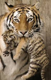 best baby tigers ideas tiger cub tiger cubs  tiger baby tiger mother shows her newborn