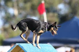 kelpie dog. the kelpie is undoubtedly a special breed as he\u0027s capable of working in blistering heat, freezing cold and over great distances for days on end. dog