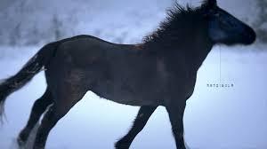 black horses in snow. Delighful Horses Wild Horses  Black Horse Running In Snow Cheval De Merens  On In YouTube