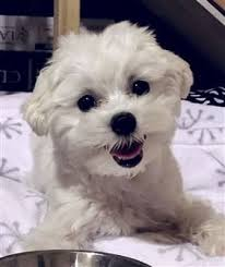 maltese dog. maltese puppy near his food bowl dog