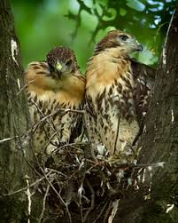 Image result for sibling hawks