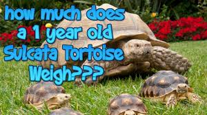 How Much Does A 1 Year Old Sulcata Tortoise Weigh