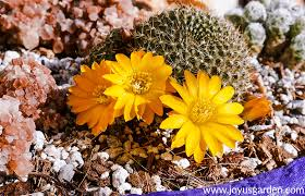 close up of a small cactus with bright yellow flowers