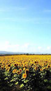 Black And White Sunflower Wallpaper ...