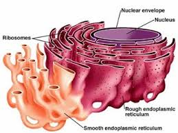 animal cell endoplasmic reticulum.  Reticulum For Example In The Case Of Muscle Cells Smooth Endoplasmic Reticulum  Stores Calcium Which Is Released When You Use Your Muscles And Contract Them And Animal Cell Endoplasmic Reticulum Google Sites