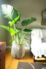 ikea house plants large indoor plants shining big house plants best ideas on indoor tall indoor plants safe for dogs ikea indoor plants uae