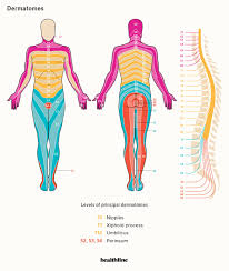 Spinal Dermatomes Chart Dermatomes Diagram Spinal Nerves And Locations
