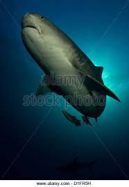 tiger shark attack stock photos tiger shark attack stock images  tiger shark blue background stock image