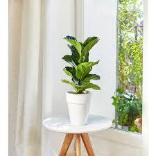 Ficus lyrata bambino. Le pot de 15 cm : Plantes d'intérieur faciles à  entretenir maison - botanic®