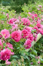 Small Picture Plant a Hedge of Roses Country Garden Design Ideas