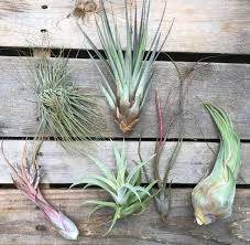 SALE - Special Jumbo Air Plants - Set of 12 - 40% Off + Free