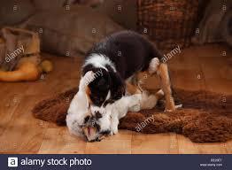 Australian Shepherd Welpen 12 Wochen Blue Merle Und Black Tri