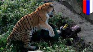 Russian zookeeper saved from tiger by quick-thinking visitors ...