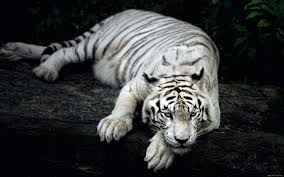 white tiger wallpaper free download.  Download 2560_1600 On White Tiger Wallpaper Free Download I