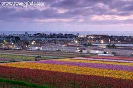 the flower fields at carlsbad ranch carlsbad california