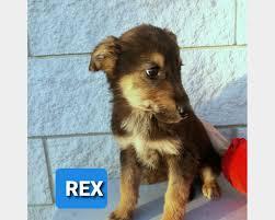 Rex il cucciolo senza identità | Regalo Cucciolo di Pastore Tedesco a  Firenze