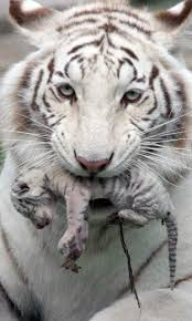 baby white tigers in water. Beautiful Tigers Android  Inside Baby White Tigers In Water