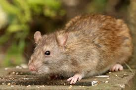 how to get rid of rats in your garden without poison or traps better homes and gardens