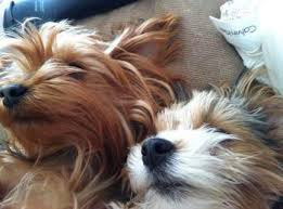 Dog Sleep Pattern Stunning Yorkie Sleep Information Normal Requirement And Habits
