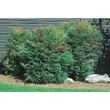 2-Quart White Heavenly Bamboo Accent Shrub (L4346)