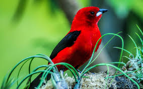 picture of red bird. Modren Red Full Picture Of Red Bird 7 5833 On R