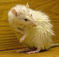 exterminator bronx ny. Brilliant Bronx Rodent Rat And Mice Control And Exterminator Bronx Ny
