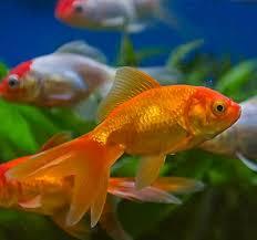 petsmart goldfish tank. Perfect Petsmart How Do I Set Up My Aquarium For Multiple Fish Intended Petsmart Goldfish Tank