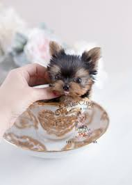 micro teacup yorkie puppies for sale. Brilliant For Tiny Teacup Yorkie For Sale Puppies 108 Micro T