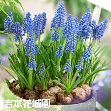 grape hyacinth bulbs. Fine Bulbs The Bulb Special Feature Of The Tulip From This With Grape Hyacinth Bulbs