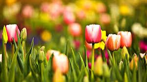 spring tulip desktop wallpaper. Wonderful Desktop Download And Spring Tulip Desktop Wallpaper L