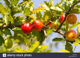 Acerola Tree Bearing Fruit Stock Photo Royalty Free Image Tree Bearing Fruit