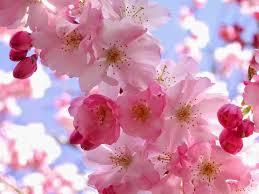 Bunga Sakura Gambar Bunga Sakura Segerombol Bunga Bunga Sakura Dan Gambar