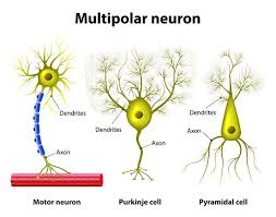 Multipolar Neurons Characteristics Functions And Types Life Persona