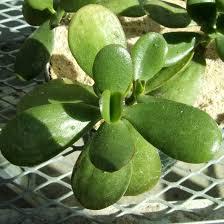 the leaves of the jade grow in opposing pairs