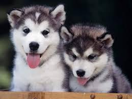 baby husky with blue eyes cute. Plain Cute Download In Baby Husky With Blue Eyes Cute M