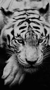 tiger iphone wallpaper. Fine Iphone White Siberian Tiger IPhone 6 Wallpaper To Iphone Wallpaper H