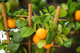 Best Grow Light For Citrus Tree How To Plant Grow Prune And Harvest Citrus Harvest To Table