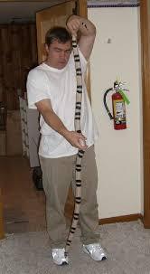 milk snake size kingsnake com herpforum monster anerythristic honduran