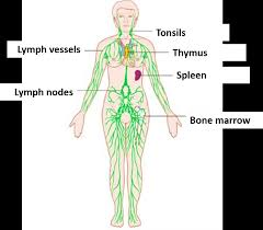 Image result for lymphatic system structure images