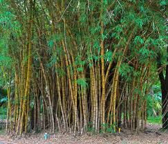 Small Picture 133 best bamboo images on Pinterest Bamboo Bamboo garden and Plants