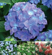 Curious Chemistry Guides Hydrangea <b>Colors</b> | American Scientist