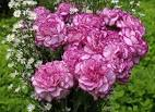 Гвоздика махровая цветы 127